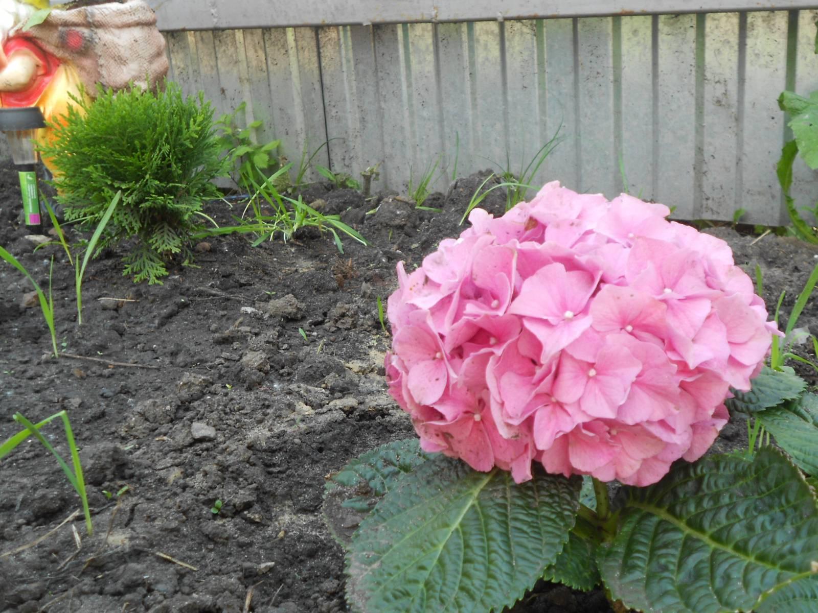 Цветок в горшке гортензия фото